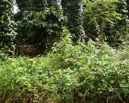 Ban ray Dak Nong – rẫy xã Đắk RMoan