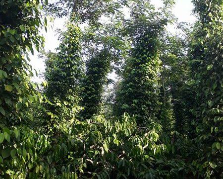 Bán đất Đắk Nông – rẫy tiêu phường Nghĩa Trung