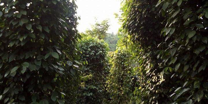 Bán đất rẫy gần thủy điện Đắk RTih – đang thu hoạch chính