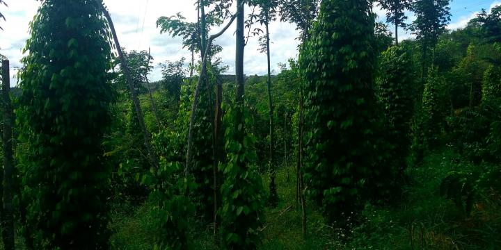 Bán rẫy Gia Nghĩa – rẫy hồ tiêu và cà phê đang thu hoạch